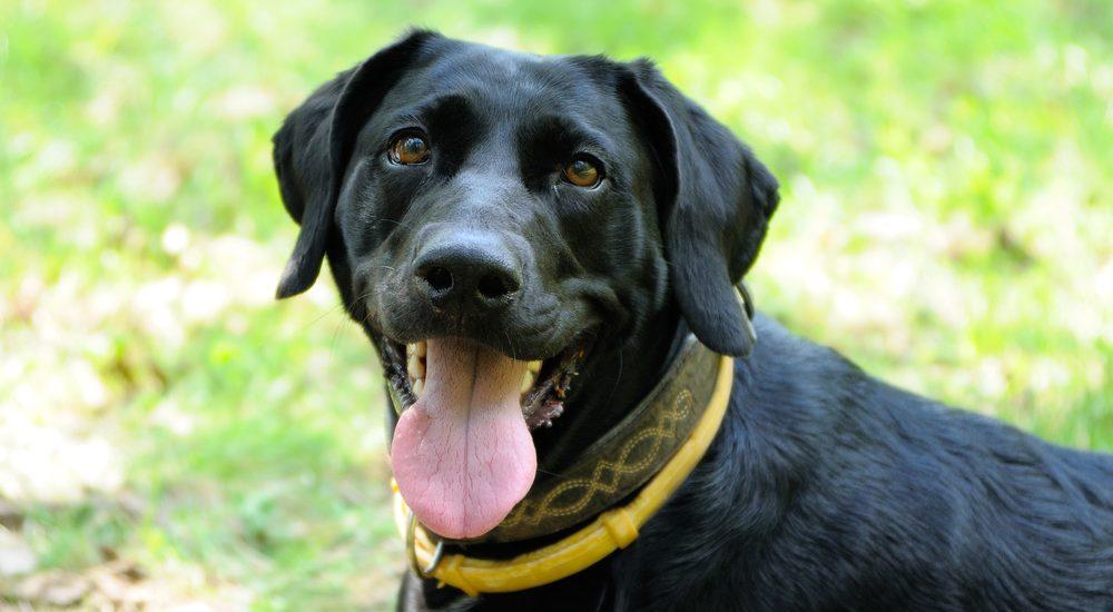 Collier anti Leishmaniose pour chien